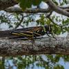 Large Painted Locust