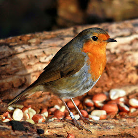 Robin by John Davies - Animals Birds ( robin, erithacus rubecula, robin redbreast, small birds, insectivorous passerine bird )
