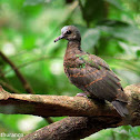 Emerald Dove (Juvenile)