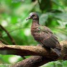 Emerald Dove (Juvenile)