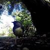 South Island Robin / Wangapeka