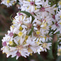Lindley's Aster