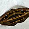 Owlet Moth