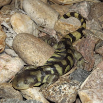 Reptiles and Amphibians of Colorado
