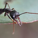 Inchman (Bulldog-ant)