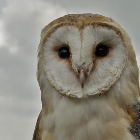 Owl by Adele Price - Uncategorized All Uncategorized (  )