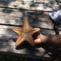Red Cushion Sea Star