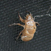 Cicada (exuvia)