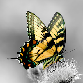Swallowtail butterfly by Steven Faucette - Animals Insects & Spiders ( creation, butterfly, nature, color, yellow, insect,  )