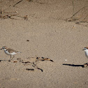 Red-Capped Plover..(charadrius Ruficapillus)
