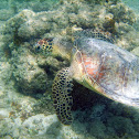 Hawaiian Green Sea Turtle/ Honu