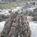 Pasture Sagebrush in Petrified Tree Stump
