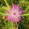 Purple Starthistle, zvjezdasta zečina