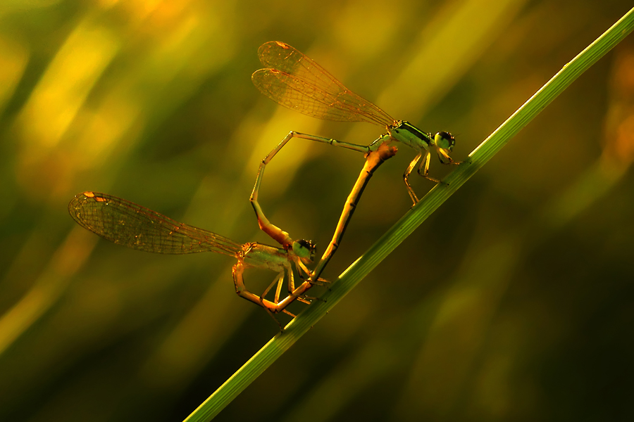 Sweetness sunset by Dhimas Prastowo - Animals Insects & Spiders ( #damselfly, #love, #sunset, #macro, #mate )