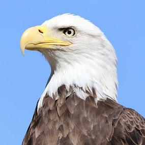 Bald Eagle by Ken Keener - Animals Birds ( bald eagle birds, bird of prey, eagle, raptor,  )