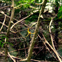 Yellow Leaf Spider
