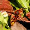 European Hornet, male