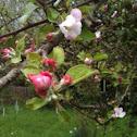 ... apple tree
