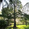 Australian Cypress sp.