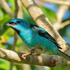 Saí-azul (Blue Dacnis)