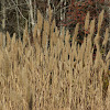Giant Plume Grass