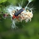 Soldier beetle - Páteříček sněhový