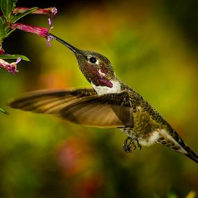 Anna's Hummingbird 2544 by Ken Wade - Animals Birds ( cuphea ignea, calypte anna, anna's hummingbird, cigar plant, , bird, fly, flight )