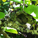 Anna's Hummingbird - Newborn Chicks
