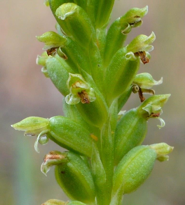 Common Onion-orchid
