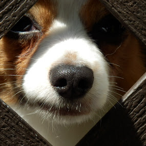 by Deanna Clark - Animals - Dogs Portraits ( , #GARYFONGPETS, #SHOWUSYOURPETS )