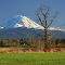 Rainier w two trees resize.png