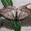 Epicopeiidae