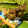 Glassy-winged Skipper