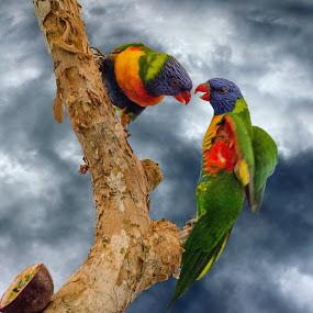 Rosellas by Angelica Glen - Animals Birds ( clouds, nature, tree, rosella, rainbow, birds,  )