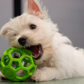 chewy by Christopher Wu - Animals - Dogs Playing (  )