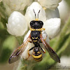 Apoid Wasp