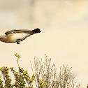 Desert Weatear (female)