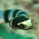 Yellow Lipped Sea Krait