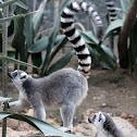 Ring - tailed Lemur