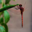 Slim scarlet-darter