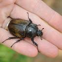 Eastern hercules beetle (female)