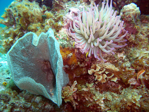 anemone-Cozumel - Anemone, coral and sponges are part of the undersea gardens you'll find near Cozumel, Mexico.