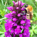 Common Carder-bee