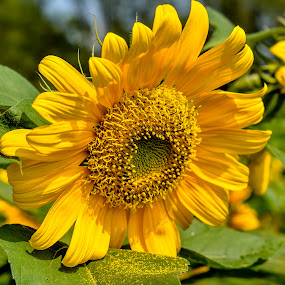 Bunga Matahari Bungan Yang Sangat Indah by Azman Kamaruddin - Flowers Flowers in the Wild