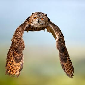 Eyes by Stefano Ronchi - Animals Birds