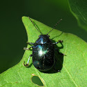 Eumolpine Leaf Beetle