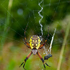 Wasp Spider / Orb Weaver
