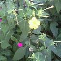 Four O'clock Flower