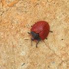 Red Tortoise Beetle