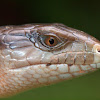 Blue Toungue Lizard